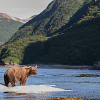 An adult brown bear stands atop a whale carcass that has washed ashore and provided an abundant food supply, Kiniak Bay, Katmai National Park