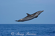 pantropical spotted dolphin, Stenella attenuata, jumping, South Kona, Hawaii ( the Big Island ) Central Pacific Ocean