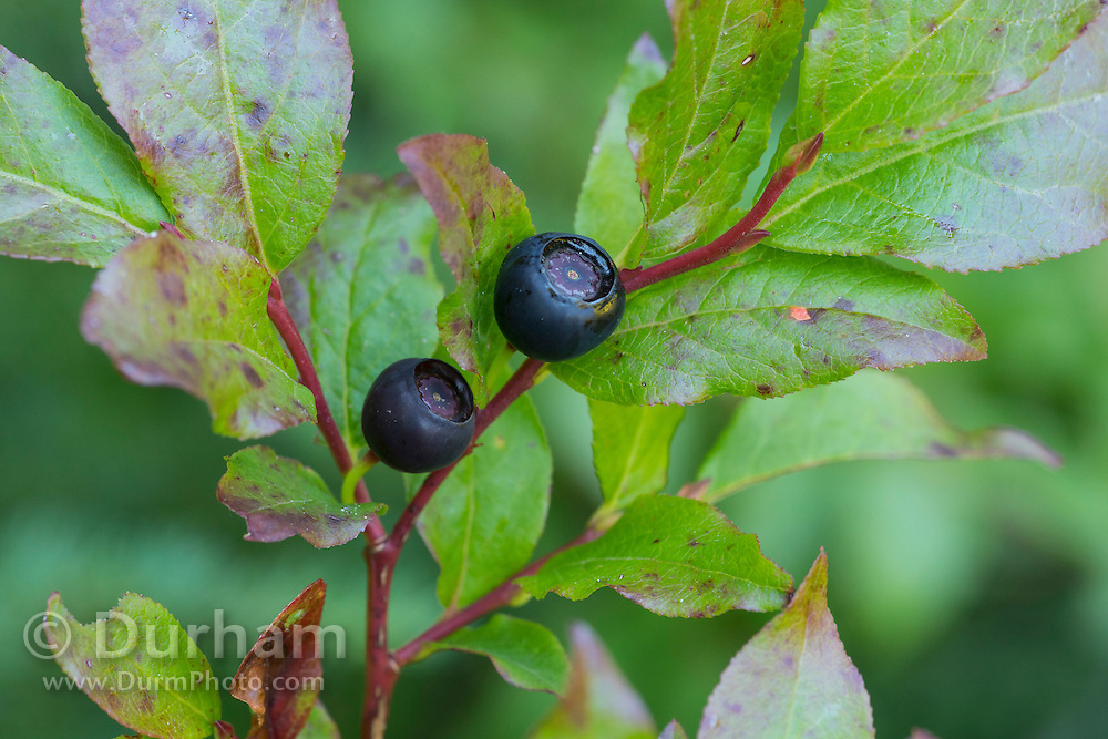 Wild huckleberries ready for harvest on the slopes of Mount Adams in the Gifford-Pinchot National Forest, Washington.
