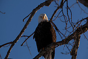 An eagle watches the river on a cold winter afternoon.