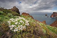 African Daisy (Arctotis hybrids) at  Ponta de Sao Lourenco, Madeira, March 2009.