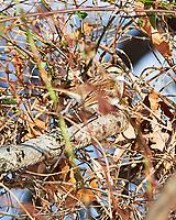White-throated Sparrow (Zonotrichia albicollis). Image taken with a Nikon Df camera and 300 mm f/4 lens.