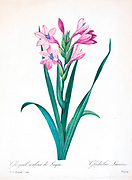 19th-century hand painted Engraving illustration of pink Gladiolus Laccatus flowers, by Pierre-Joseph Redoute. Published in Choix Des Plus Belles Fleurs, Paris (1827). by Redouté, Pierre Joseph, 1759-1840.; Chapuis, Jean Baptiste.; Ernest Panckoucke.; Langois, Dr.; Bessin, R.; Victor, fl. ca. 1820-1850.