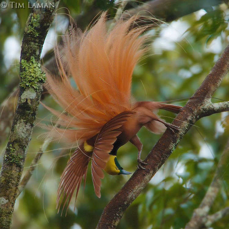 Raggiana Bird of Paradise (Paradisaea raggiana)<br />Adult male at his display site:  performing display<br /><br />Kiburu Forest, Southern Highlands Province, Papua New Guinea.