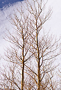 Bare aspens and snow, Inyo National Forest, Sierra Nevada Mountains, California