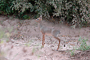 Kenya, Samburu National Reserve, Kenya, Gunther's long snouted Dik-dik (Mandoqua guntheri) the smallest antelopes