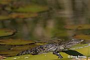 juvenile Morelet's crocodile, Belize crocodile, or Central American crocodile, Crocodylus moreletii, sunning itself on bamboo raft, Cabbage Hole Creek, Stann Creek District, Belize, Central America