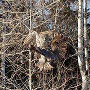 Great Gray Owl (Strix nebulosa) One attacking another while in flight. Northern Minnesota. January. Winter.