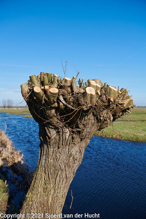 Knotwilgen langs een sloot in de polder van de Krimpenerwaard.    Pollard willows along a ditch in the polder of the Krimpenerwaard.