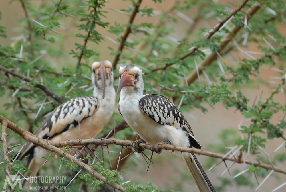A hornbill couple sitting in a thornbush.