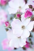 Rosa 'Ballerina' - modern shrub rose