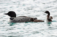 Great Northern Diver (Common Loon) - Gavia immer - in summer plumage with chicks