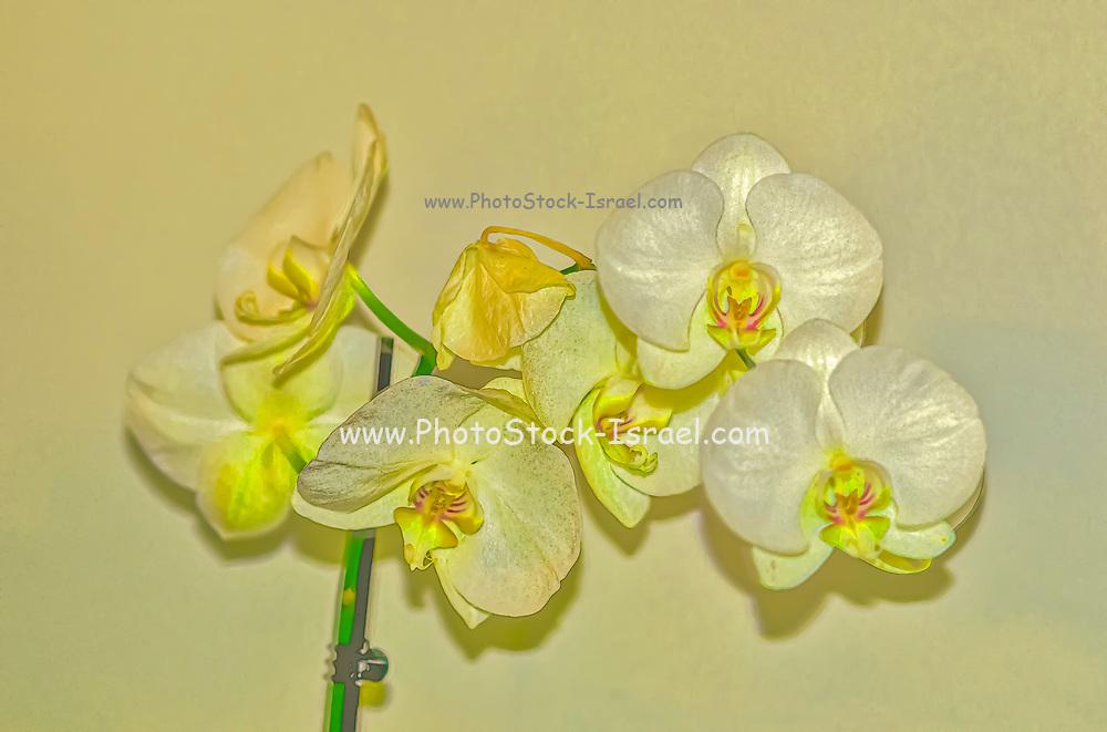 Digitally manipulated image of a White Phalaenopsis Orchid on white background