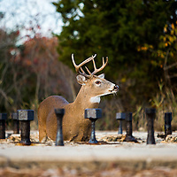 Sandy Hook has a healthy white tailed deer population which is relatively new to the park.  There are both male and female deer that can be seen from the roadway and many trails within the park.