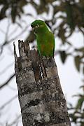 Cerro Tapichalaca Reserve - Monday, Jan 07 2008: A Golden-plumed Parakeet (Leptosittaca branickii) perches on top of a tree in the Cerro Tapichalaca Reserve near Podocarpus National Park. (Photo by Peter Horrell / http://www.peterhorrell.com)