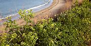 Alexanders growing by Fishermans beach, Island of Herm, Channel Islands, Great Britain
