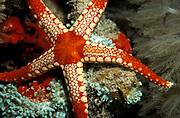 Orange Marble Sea Star (Fromia monilis), Orange Marble Starfish, Sabah, Borneo