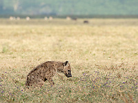 Spotted Hyena, Crocuta crocuta, in Ngorongoro Crater, Ngorongoro Conservation Area, Tanzania