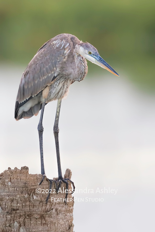 Young great blue heron (Ardea herodias) scans from a high perch just before sunset at Viera Wetlands.