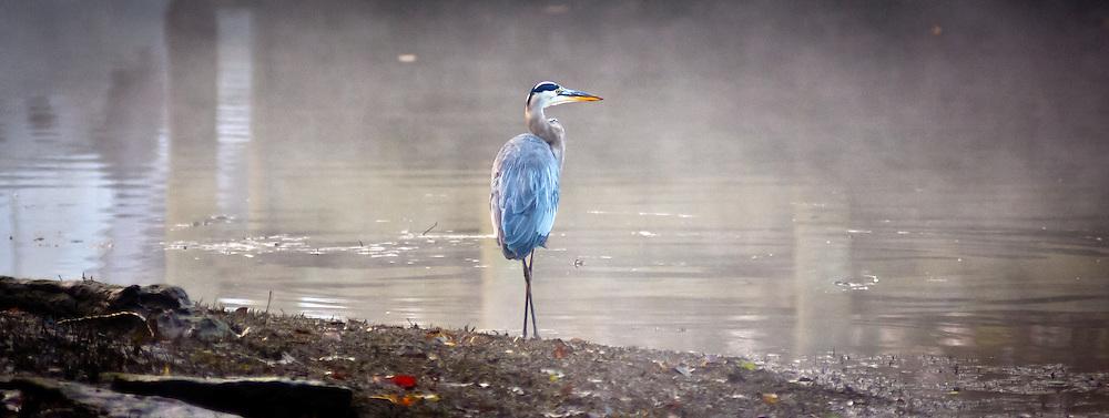 Blue Heron on an Autumn Morning,nature,bird,ct river,mist