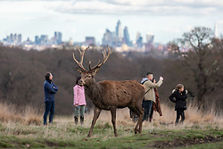 © Licensed to London News Pictures. 02/01/2021. London, UK. With a back drop of central London, a stag walks past families, enjoying a stroll in the sunshine in tier 4 restrictions on the first Saturday of 2021 in Richmond Park, South West London as weather forecasters predict a milder week ahead with rain. Last Wednesday the Oxford vaccine was approved for use, with the government securing over 100 million doses with an expected full rollout of vaccinations from this Monday, January 4th 2021 as the coronavirus pandemic crisis continues into the new year. UK. Photo credit: Alex Lentati/LNP