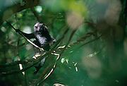 This three month old Celebes Crested Macaque is already climbing in the tree-top. | Erst drei Monate alt, schon ist der Schopfmakake in den Baumkronen unterwegs. Liane