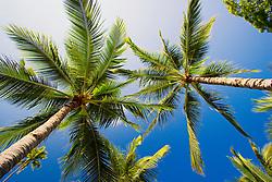 coconut tree, Cocos nucifera, Puuhonua o Honaunau National Historical Park, Honaunau, Big Island, Hawaii, USA