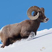 Bighorn sheep (Ovis canadensis) male also known as a ram. Yellowstone National Park, Wyoming