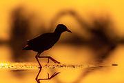 Black crake (Amaurornis flavirostra) in sunset.  Zimanga, South Africa.