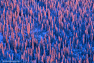 Alpenglow light strikes the pine forest of the Flathead National Forest in Montana