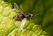 Close-up of a winged male Black garden ant (Lasius niger) resting on a leaf  in a Norfolk garden in summer
