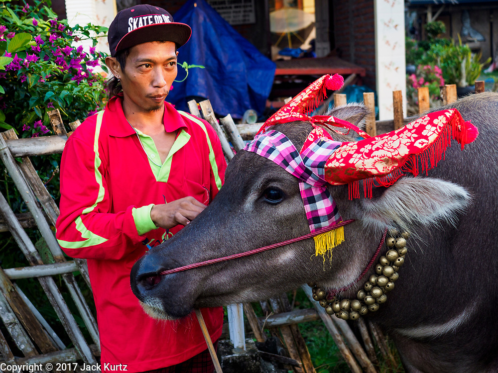 30 JULY 2017 - TUWED, JEMBRANA, BALI, INDONESIA: A Balinese man with one of his water buffalo before a makepung (buffalo race) in Tuwed, Jembrana in southwest Bali. Makepung is buffalo racing in the district of Jembrana, on the west end of Bali. The Makepung season starts in July and ends in November. A man sitting in a small cart drives a pair of buffalo bulls around a track cut through rice fields in the district. It's a popular local past time that draws spectators from across western Bali.    PHOTO BY JACK KURTZ