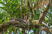 Northern Caiman Lizard (Dracaena guianensis) resting on a log at Lake Mandicocha (near La Selva), Ecuador.