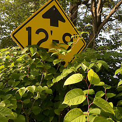 Japanese knotweed is spreading rapidly near the Mount Orne covered bridge that spans the Connecticut River between Lunenburg, Vermont and Lancaster, New Hampshire.