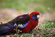 Crimson Rosella, Platycercus elegans elegans, at the campside at Tidal River, Wilsons Promontory National Park, Victoria, Australia