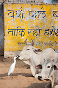 Egret pecks flies from bull's face among herd of cattle at Jhupidiya Village in Sawai Madhopur, Rajasthan, Northern India