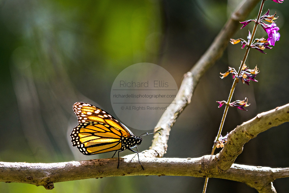 A monarch butterfly rests on a branch at the Sierra Chincua Biosphere Reserve January 20, 2020 near Angangueo, Michoacan, Mexico. The monarch butterfly migration is a phenomenon across North America, where the butterflies migrates each autumn to overwintering sites in Central Mexico.
