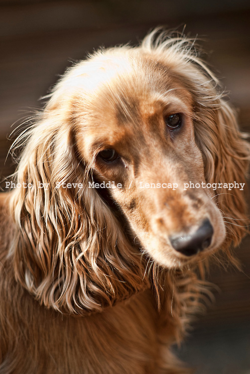 Cocker Spaniel Dog - 2013