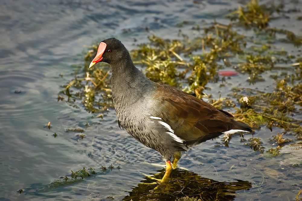 With a beak that is anything but common, this common moorhen is catching fish and insects in the floating vegetation at Wakulla Springs, in North Florida.