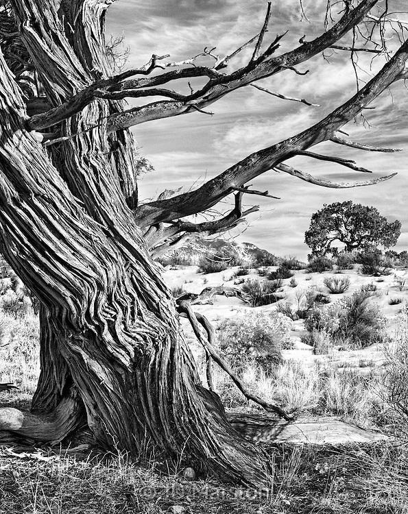 Goodbye to Winter, ancient juniper, Crestone, Colorado
