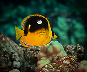 The four-spotted butterflyfish or fourspot butterflyfish is a species of butterflyfish.
