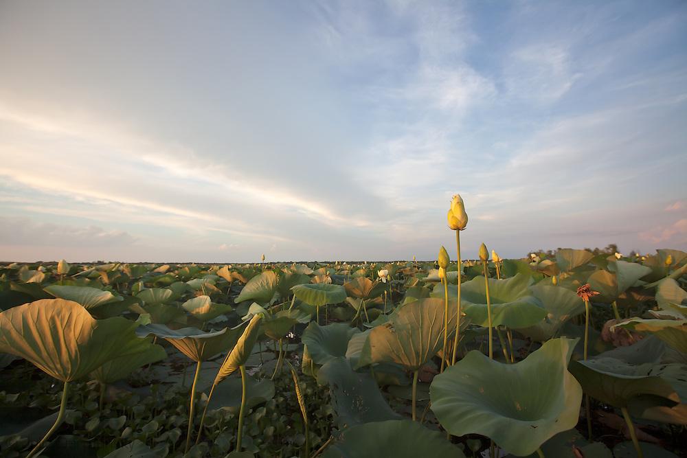 American waterlillies on Lake Des Allemands