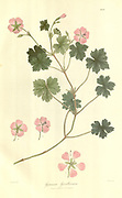 Geranium grevilleanum From Plantae Asiaticae rariores, or, Descriptions and figures of a select number of unpublished East Indian plants Volume III by N. Wallich. Nathaniel Wolff Wallich FRS FRSE (28 January 1786 – 28 April 1854) was a surgeon and botanist of Danish origin who worked in India, initially in the Danish settlement near Calcutta and later for the Danish East India Company and the British East India Company. He was involved in the early development of the Calcutta Botanical Garden, describing many new plant species and developing a large herbarium collection which was distributed to collections in Europe. Several of the plants that he collected were named after him. Published in London in 1832