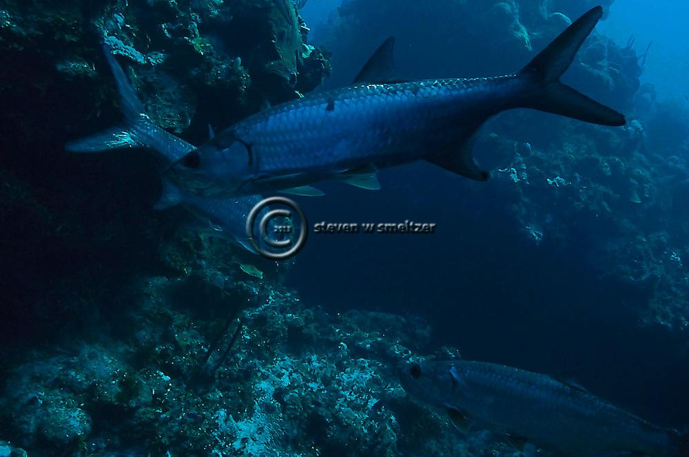Tarpon, Megalops Atlanticus, Tarpon Alley, Grand Cayman