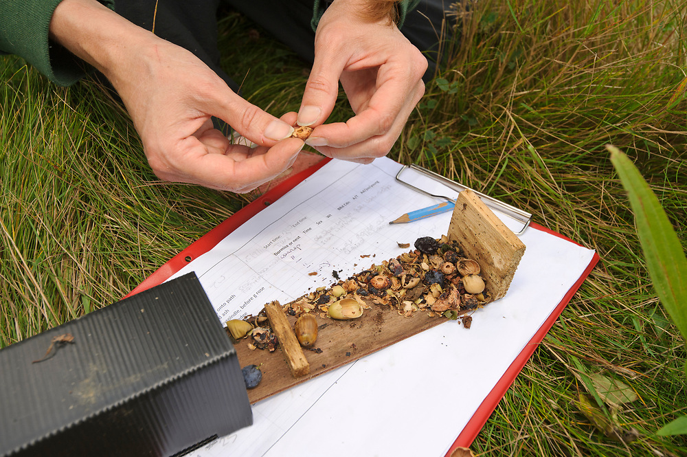 Hazel dormouse (Muscardinus avellanarius), Kent, UK. Members of Kent Mammal Group conduct monthly dormouse survey. Hazel Ryan checking nest tube which has ben used to store food by various species including dormice and yellow-necked mice. Model released.