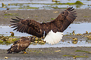 An adult bald eagle (Haliaeetus leucocephalus) prepares to attack a juvenile along Hood Canal near Seabeck, Washington. Bald eagles predominently find food by stealing it from others.