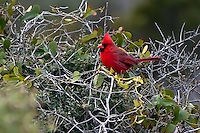 A beautiful male cardinal photographed on the St. Joseph Peninsula on a very cold winter morning on the Gulf coast.