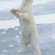 Polar bear (Ursus maritimus) adult standing up. Hudson Bay, Canada