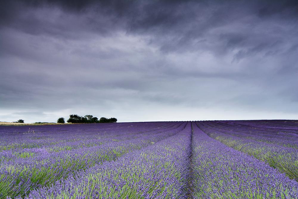 Hitchin Lavender in Hertfordshire.