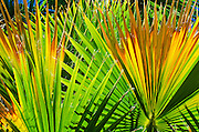 Backlight on California fan palms, Anza-Borrego Desert State Park, California USA